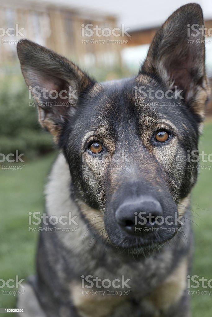 Closeup portrait of a cute and curious german shepherd.