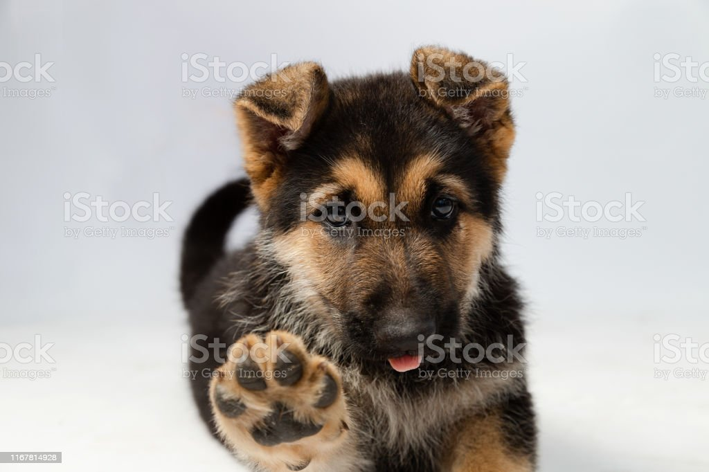 Cute German Shepherd Puppy Raising His Paw Showing His Footprint While Sticking Out His Tongue Puppy On White Background Stock Photo Download Image Now Istock