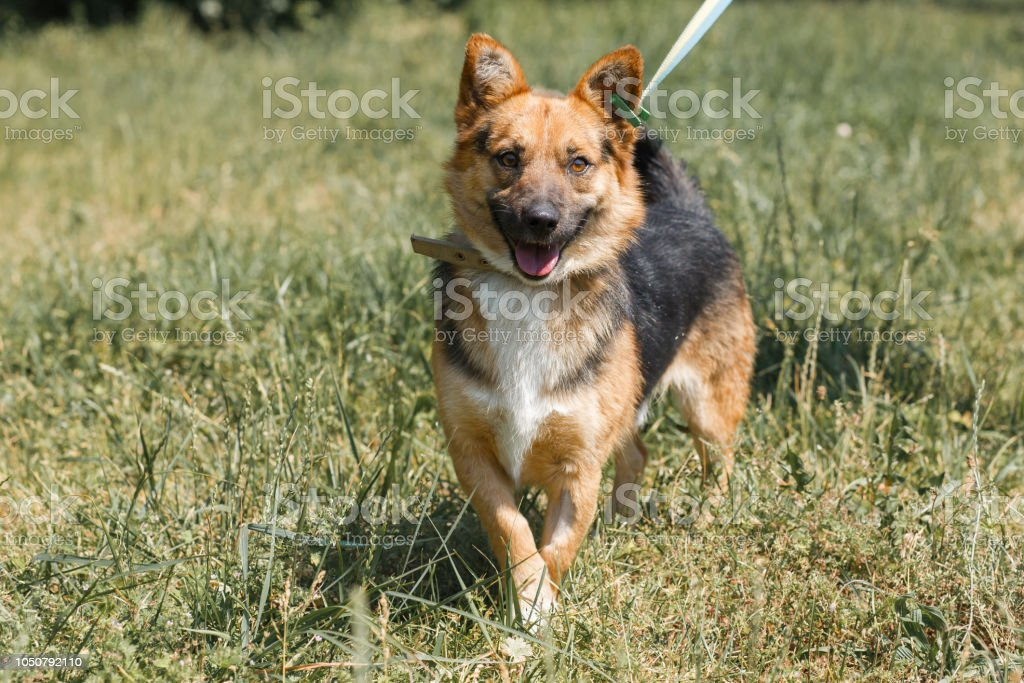 Cute German Shepherd Puppy Smiling Outdoors While On A Walk In The Park Happy Brown Dog Animal Adoption Concept Stock Photo Download Image Now Istock