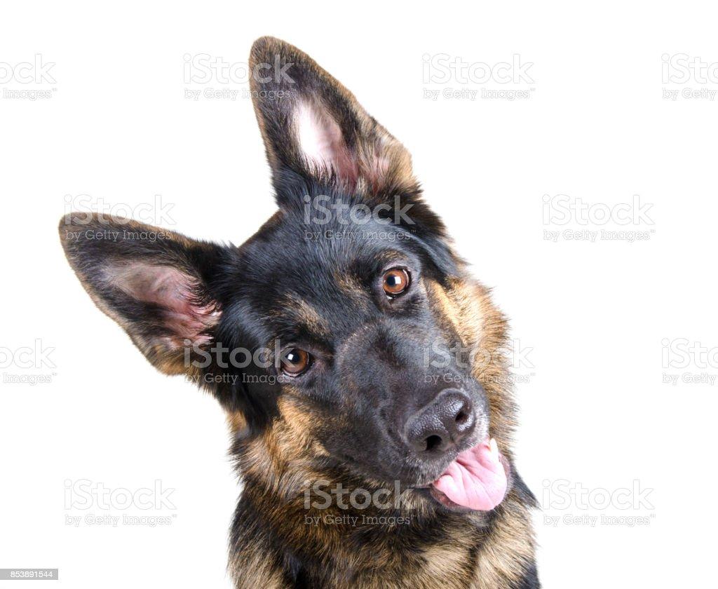 Cute German shepherd tilting its head stock photo