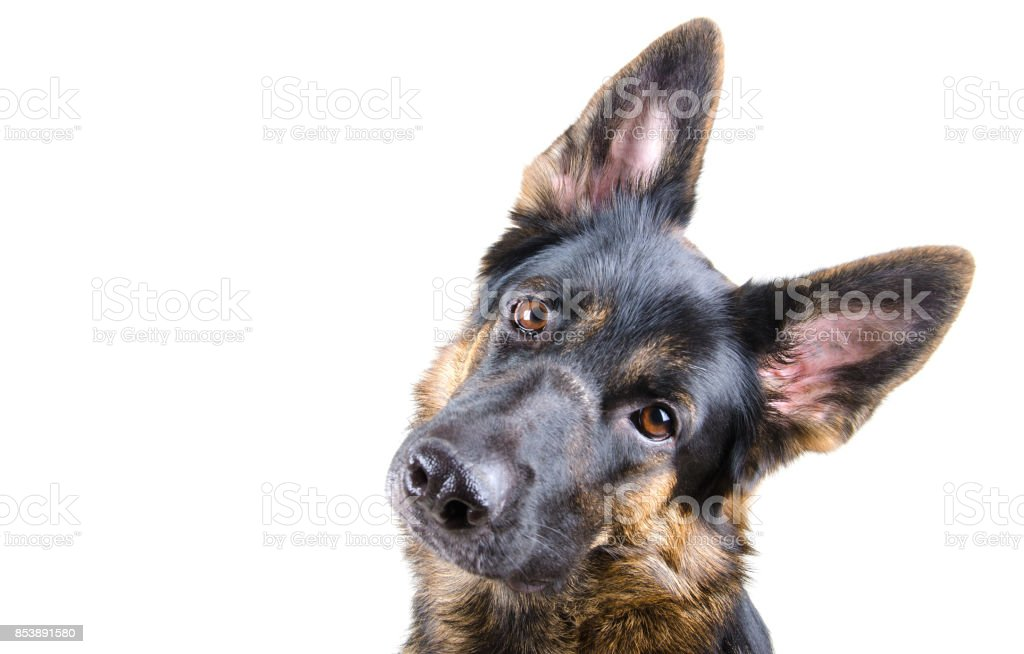Cute German shepherd tilting its head stock photo