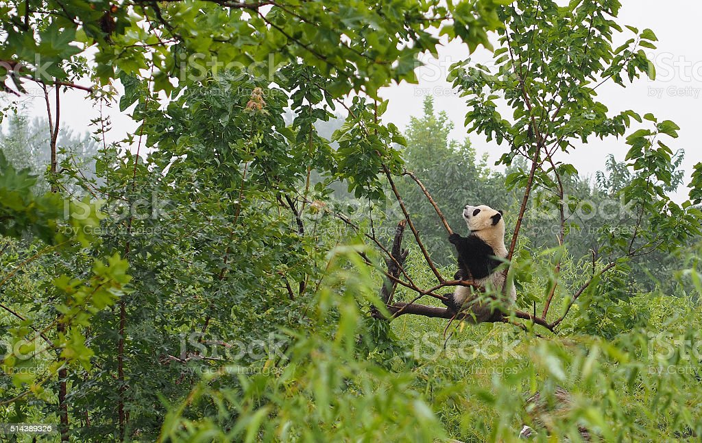 Cute Giant Panda at Shaanxi Panda Sanctuary in China stock photo