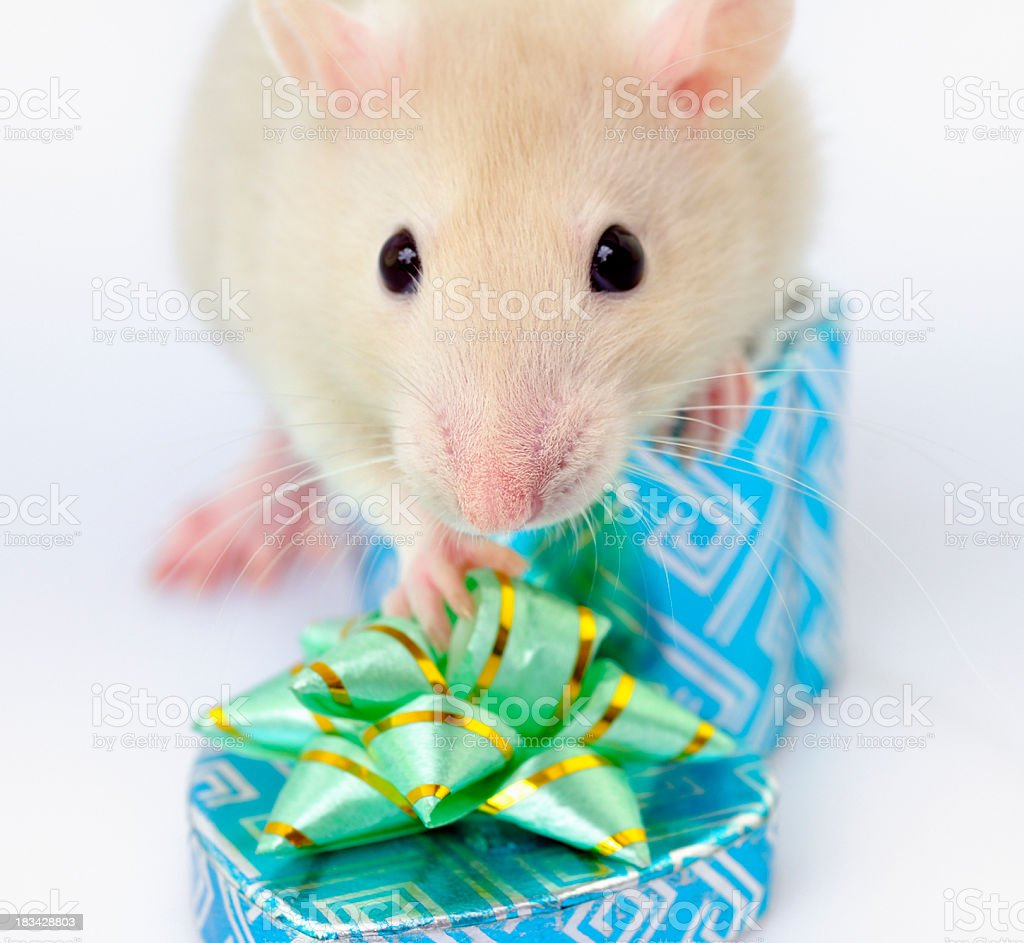 Cute Gift-Opening Rodent stock photo