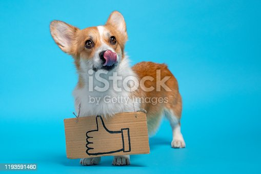 Cute ginger and white corgi stands on the blue background, licking, with like sign, drawing on cardboard on its chest. Adorable look. Funny picture, humor, like obsession concept.