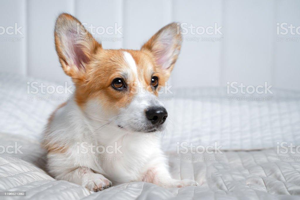 Netter Ingwer und weißer Hund von walisischen Corgi Pembroke Rasse, liegend auf weißer Abdeckung auf dem Bett oder Sofa. Entzückende Haustier Gesicht Ausdruck, hübschaussehen. Drinnen, Kopierplatz. - Lizenzfrei Auge Stock-Foto