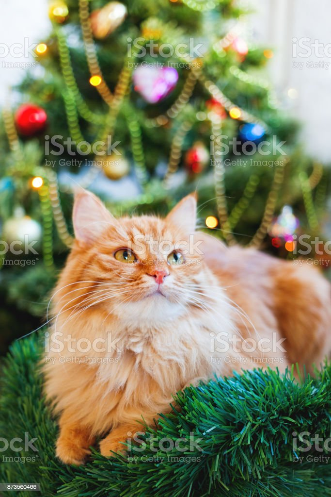 Cute ginger cat and Christmas tree. Fluffy funny pet sits in front of...