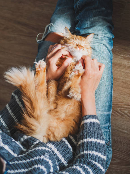 Cute ginger cat dozing on woman knees. Smiling woman in torn jeans stroking her fluffy pet. Cozy home. stock photo