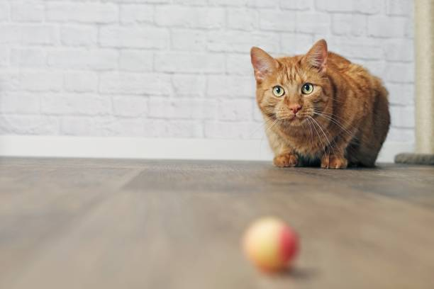 Cute ginger cat in the lurking picture id975728494?b=1&k=6&m=975728494&s=612x612&w=0&h=qdskelwexx6mxpttixxzfaa4uyygq t9zuwzyi8jasm=
