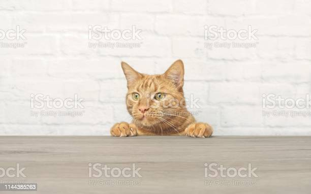Cute ginger cat is looking curious up to the table picture id1144385263?b=1&k=6&m=1144385263&s=612x612&h=pibe 9xe aixi34ojhyyuhbed7myqdmdiap8lrm0c7k=