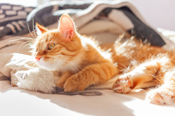 Cute ginger cat is playing with toy mouse fluffy pet lying in bed picture id1128534828?b=1&k=6&m=1128534828&s=612x612&w=0&h=orhjllgdtmy3fy6epa5tq513mmgi0bl4pksfaqzwg w=