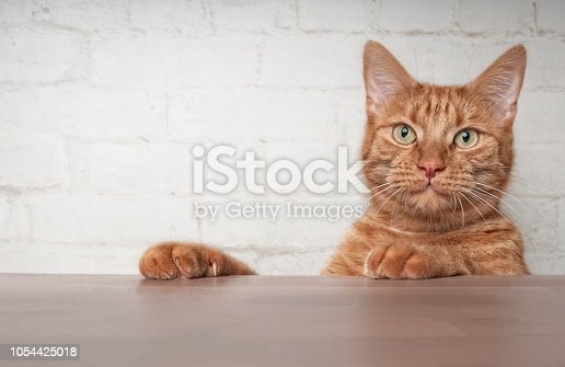 Cute ginger cat looking curious over the table to ther camera.