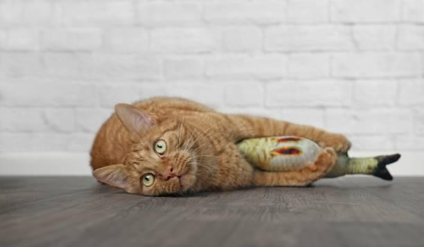 Cute ginger cat lying down and hugging her toy picture id1018963256?b=1&k=6&m=1018963256&s=612x612&w=0&h=op5luqeutmntrquucnzon19k 1w6lu1e3jqva0nwu5u=