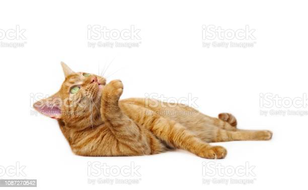 Cute ginger cat lying down side view isolated on white with copy picture id1087270542?b=1&k=6&m=1087270542&s=612x612&h=w2eyxaciyozqfhrsghinou4wkjxl94lajdec 9xr8wm=