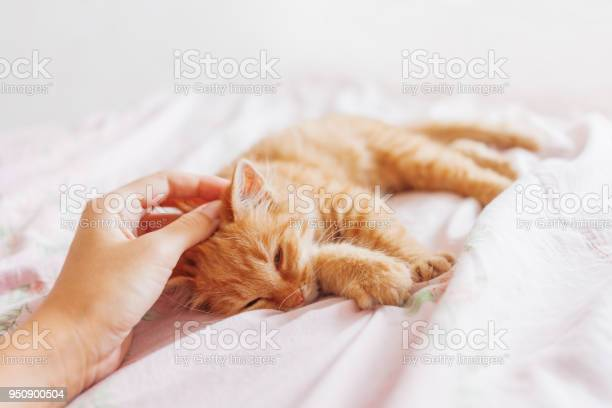 Cute ginger cat lying in bed fluffy pet is gazing curiously stray picture id950900504?b=1&k=6&m=950900504&s=612x612&h= svcu1l2 gy0qfh3ugpfoht9fpitxfovagqlf2rylmq=