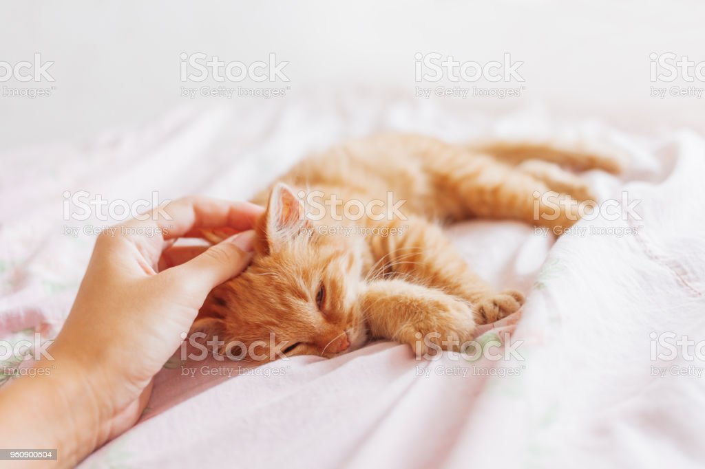 Cute ginger cat lying in bed. Fluffy pet is gazing curiously. Stray kitten sleep on bed first time in its life. Cozy home background, morning bedtime. stock photo