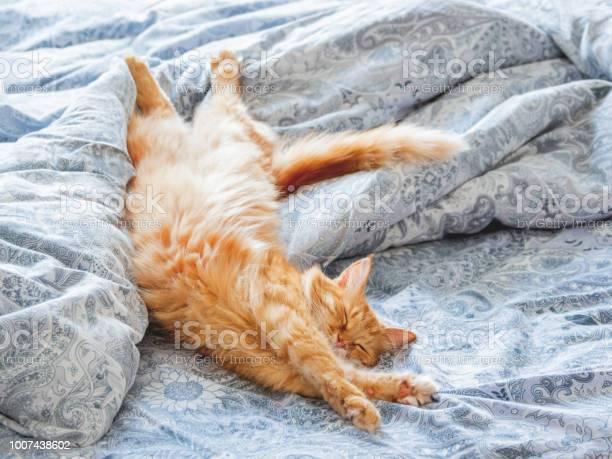 Cute ginger cat lying in bed fluffy pet stretching cozy home morning picture id1007438602?b=1&k=6&m=1007438602&s=612x612&h=zbqbutb7zi5ecdxznd8efwmdmmzogemu1covelyqarw=