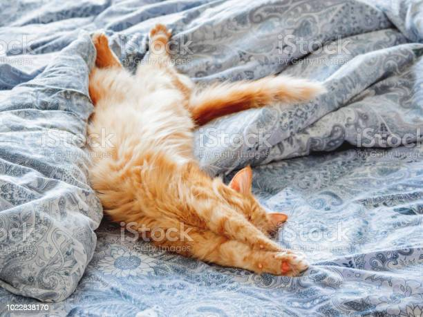 Cute ginger cat lying in bed fluffy pet stretching cozy home morning picture id1022838170?b=1&k=6&m=1022838170&s=612x612&h=ncrpfby7ypuwtfgrx  veb5eyyioslnuyys2ugfvakm=