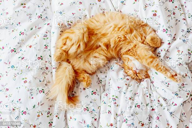 Cute ginger cat lying in bed fluffy pet top view picture id541578546?b=1&k=6&m=541578546&s=612x612&h=i4ig1olhfkrnwqqr2qqllpbjtb4fe5pc2iijtp3dues=