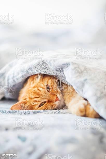 Cute ginger cat lying in bed under a blanket picture id535797808?b=1&k=6&m=535797808&s=612x612&h=wxfjhmk7ndw3wthkixpuiw50s 7ozmalvttbhekd1ja=