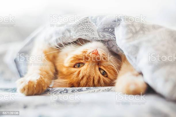 Cute ginger cat lying in bed under a blanket picture id537126106?b=1&k=6&m=537126106&s=612x612&h=ip ubgdcgggbcaay5qpr0wvpcemgrur6rto tc2 oke=