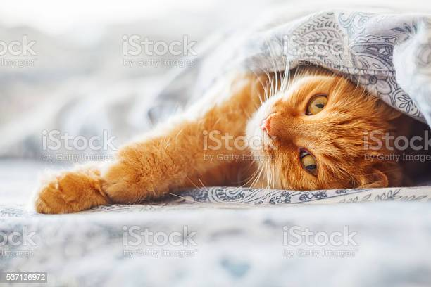 Cute ginger cat lying in bed under a blanket picture id537126972?b=1&k=6&m=537126972&s=612x612&h=ssmtk5t60pg2kqpx4o7nuoh8hhamiyfl56pzgqljl c=