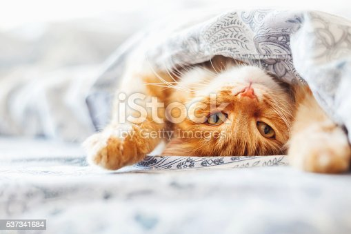 istock Cute ginger cat lying in bed under a blanket. 537341684