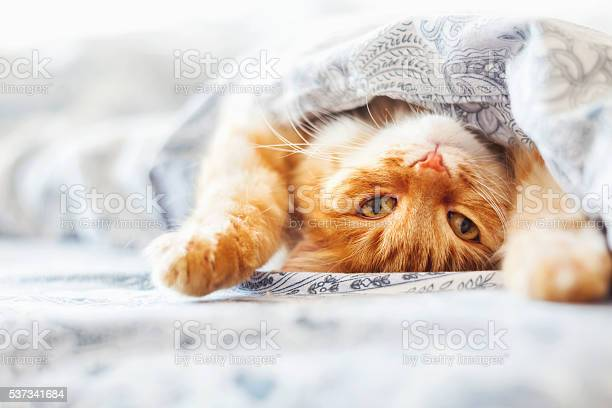 Cute ginger cat lying in bed under a blanket picture id537341684?b=1&k=6&m=537341684&s=612x612&h=yhsi b4qe7eooikzvo v2 jd15avrfux1ym0d65jxtc=