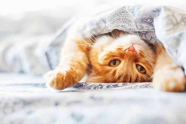 Cute ginger cat lying in bed under a blanket picture id537341684?b=1&k=6&m=537341684&s=612x612&w=0&h=nbrnhjdvaa gekl99709 jlpjh8dynwb3y33uxg7x9e=