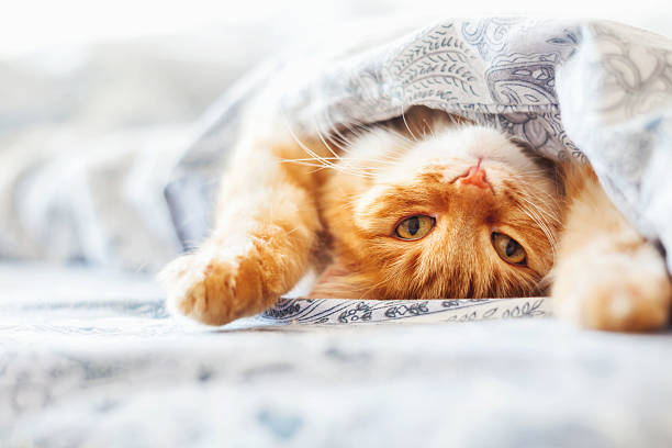 Cute ginger cat lying in bed under a blanket. stock photo