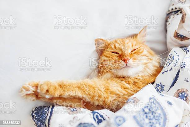 Cute ginger cat lying in bed under a blanket picture id588369232?b=1&k=6&m=588369232&s=612x612&h=s fhathymh2wivciqqkbikbmijmf9ets3moo2l9e5fy=