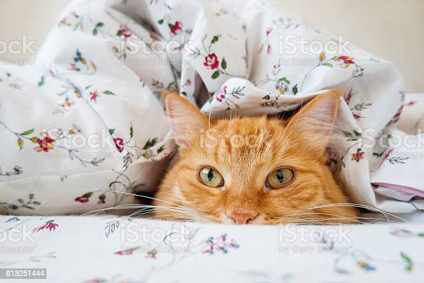 Cute ginger cat lying in bed under a blanket picture id613251444?b=1&k=6&m=613251444&s=612x612&h=jsave60umcoerbw83kicoaj5dmwyi91mx0fjr6u4nqc=