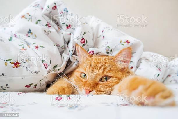Cute ginger cat lying in bed under a blanket picture id614606692?b=1&k=6&m=614606692&s=612x612&h=lad3m4b95innjx6fub3pdit4tdtvbqq 5foitm yupk=