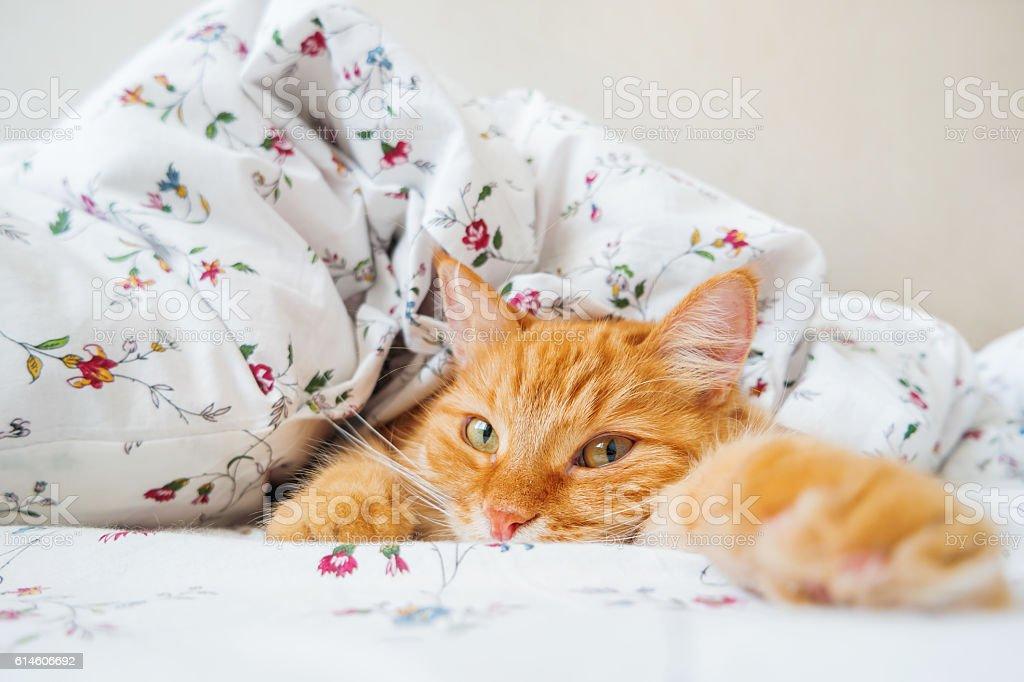 Niedlich Rötlich Katze liegen im Bett unter einer Decke. – Foto