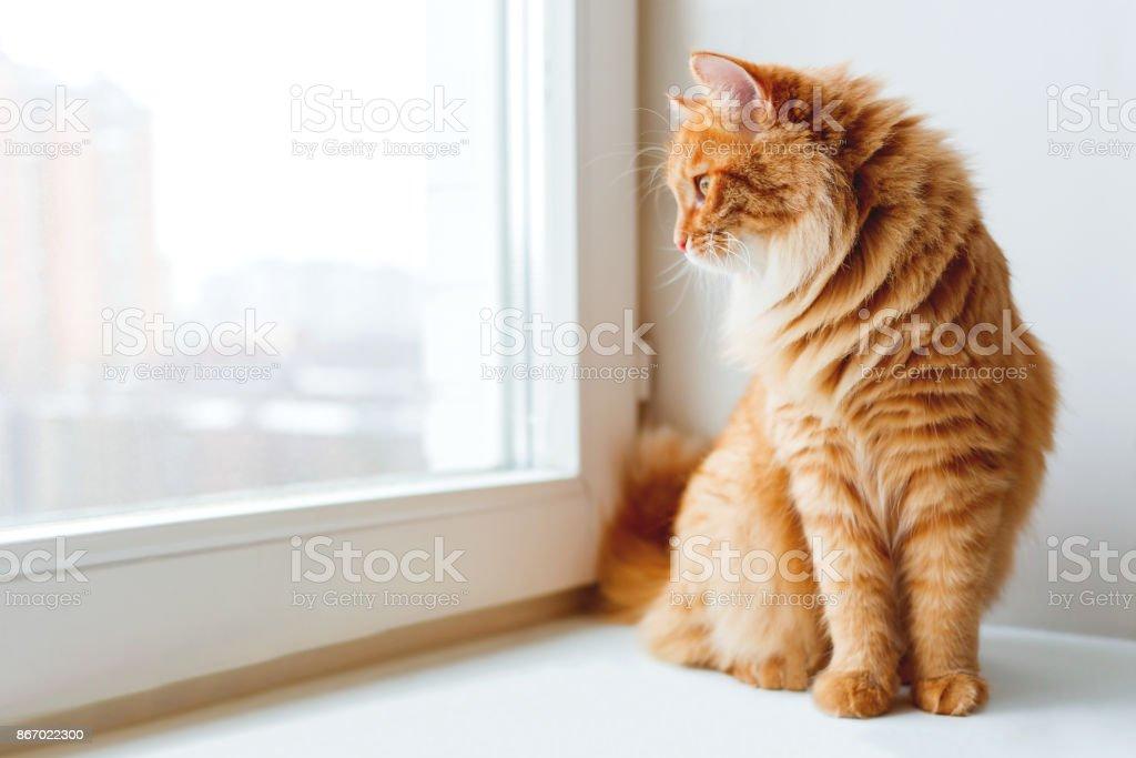 Süße Ingwer Katze Standortwahl auf Fensterbank und etwas warten. Flauschige Tier sieht im Fenster. – Foto