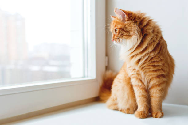 Cute ginger cat siting on window sill and waiting for something. Fluffy pet looks in window. stock photo