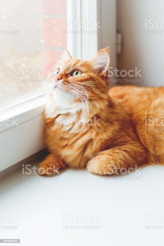 Cute ginger cat sitting on window sill and looking on falling snow. Cozy home background with domestic fluffy pet. stock photo