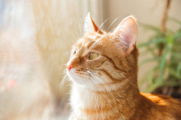 Cute ginger cat sitting on window sill cozy home background with picture id943982256?b=1&k=6&m=943982256&s=612x612&w=0&h=un1ah2xhaes3lf8i zfjskhfqnaeu0oixtddsvgstsq=