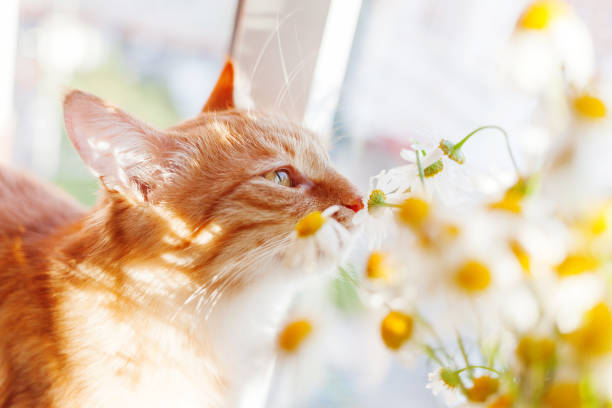 Cute ginger cat smelling a bouquet of camomiles cozy spring morning picture id946992504?b=1&k=6&m=946992504&s=612x612&w=0&h=ho eb6gj835rek4mlum2tjx4yvj8ukqgc0vvrl1vzmw=