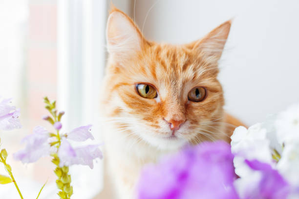 Cute ginger cat smelling a bouquet of flowers. Cozy spring morning at home. stock photo