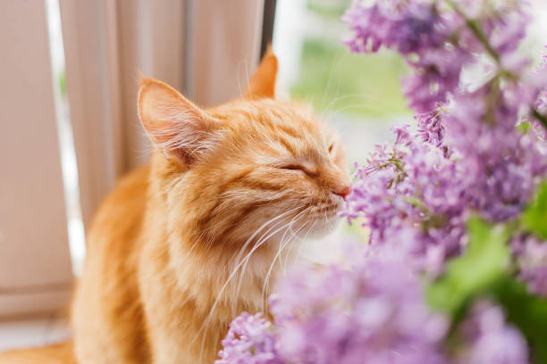 Cute ginger cat smelling a bouquet of lilac flowers fluffy pet with picture id949626946?b=1&k=6&m=949626946&s=612x612&w=0&h=uh4giygzbdvcaz hj ln6wfhmvmgzwolp8ybfavwjb8=