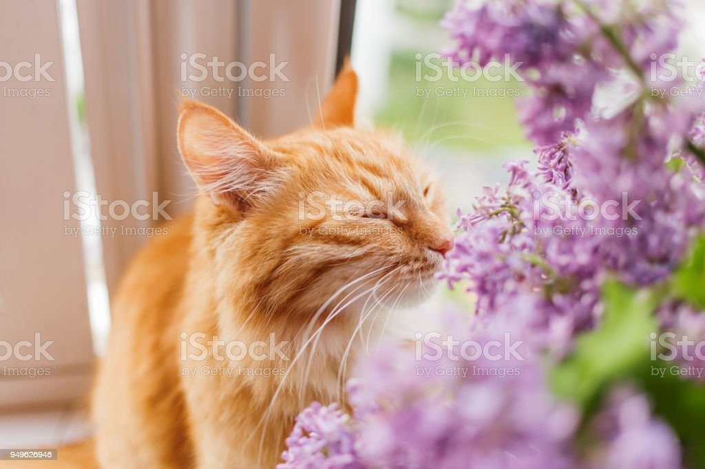 Cute ginger cat smelling a bouquet of lilac flowers. Fluffy pet frowning with pleasure. Cozy spring morning at home. stock photo