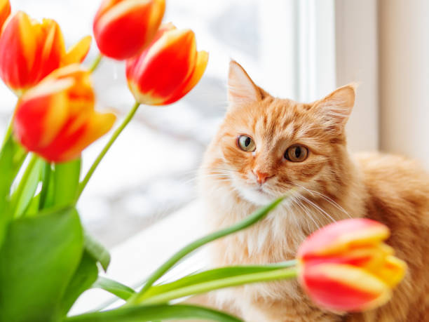 cute ginger cat with bouquet of red tulips. fluffy pet with colorful flowers. cozy spring morning at home. - котик яркий стоковые фото и изображения