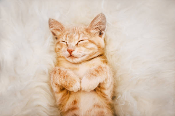 Cute ginger kitten is sleeping and smiling on a fur blanket concept picture id1144982155?b=1&k=6&m=1144982155&s=612x612&w=0&h=bd0rkjkzqrcdtevysdtelqbknf fxbisukdp7qiyswa=