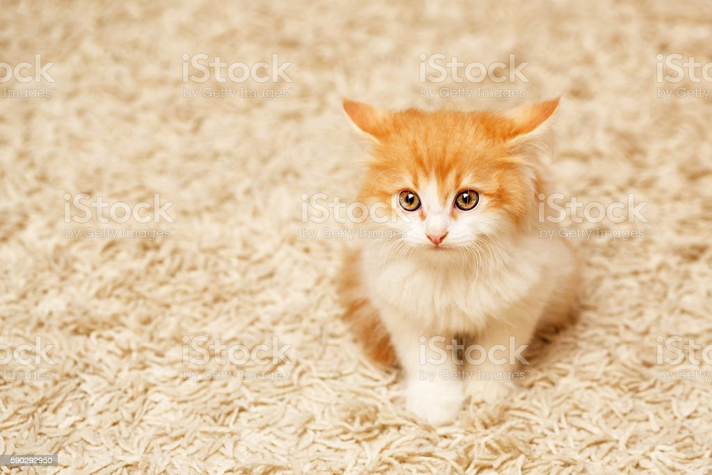 Cute ginger kitten royaltyfri bildbanksbilder