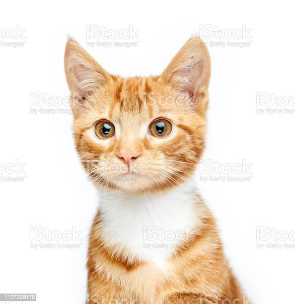Cute ginger red tabby kitten sitting looking off camera curious and picture id1127209178?b=1&k=6&m=1127209178&s=612x612&h=9dvtqljmxdgz8mjj0el5ciqmjxsgvbjvqgqcrnrltmy=
