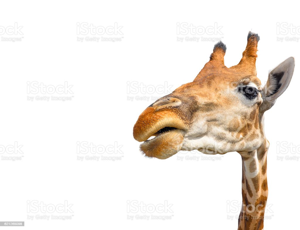 Cute giraffe isolated on white background stock photo
