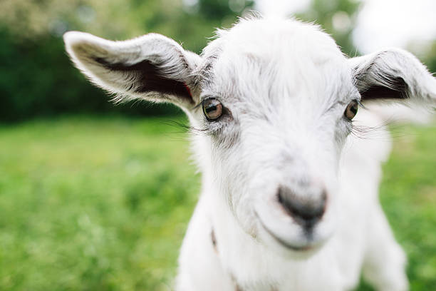 Cute goatling looking right at you close-up stock photo