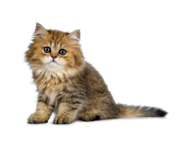 Or British Longhair chat chaton mignon, assis manières latérales. Regardant la lentille avec de grands yeux verts. Isolé sur fond blanc. - Photo