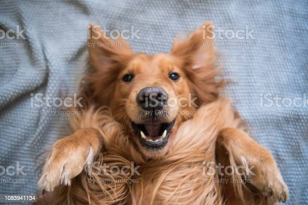 Cute golden hound indoor shooting picture id1083941134?b=1&k=6&m=1083941134&s=612x612&h=5tfq58ikbpyrtjdsyjgzqwiiiupqvrypgt8lcxlgkma=