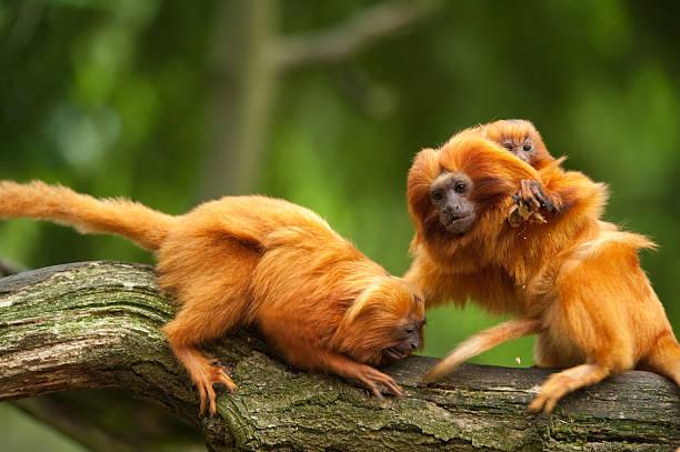 Süße golden lion tamarins mit baby – Foto